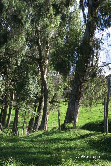 Maderas de Colombia: El eucalipto