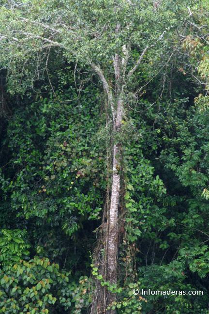 Maderas de Colombia: Achapo o tornillo
