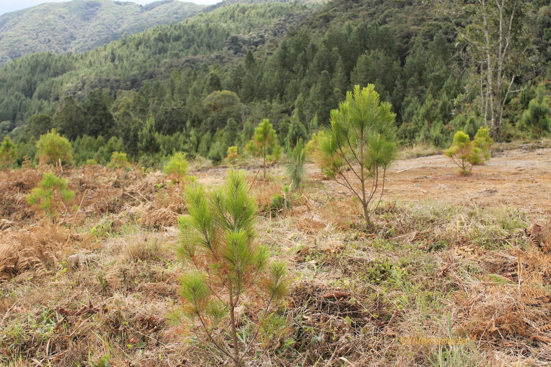 reforestacion infomaderas