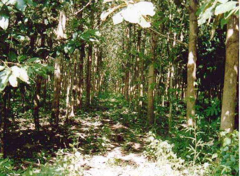 Teca: los bosques naturales disminuyen, mientras que los plantados aumentan