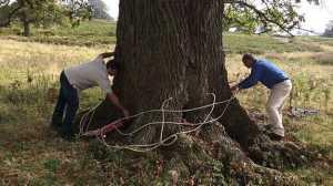 Inyecciones de ajo para sanar árboles enfermos