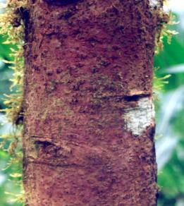 Maderas de Colombia: Canelo